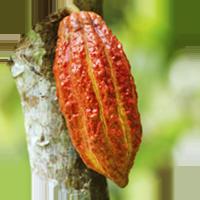vaina de cacao criollo colgada del árbol