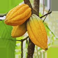 Vaina de cacao forastero en la planta de cacao